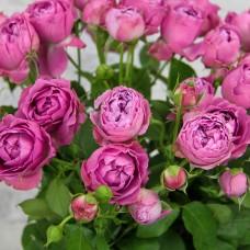Роза кустовая Мисти Баблс пионовидная