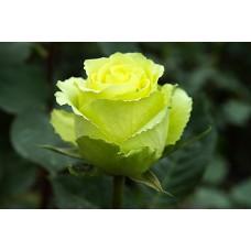 Роза Лимбо  (Limbo)