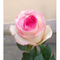 Роза нежно-розовая