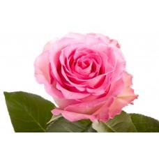 Роза Свит Ревивал