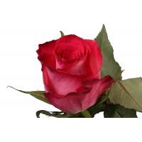 Роза Николетта