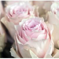 Роза Ремебранс