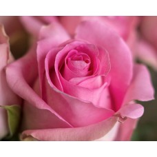 Роза Ревивал