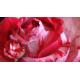 Роза пионовидная Фру Фру