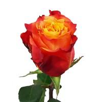 Роза Атомик