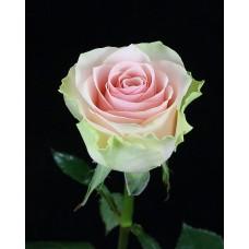 Роза Фруттето