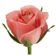 Роза Айс пинк