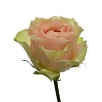 Роза Гравити