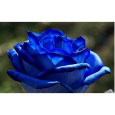 Роза синяя Блау