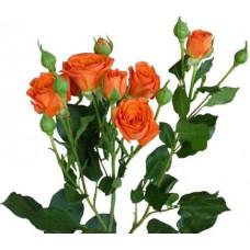 Роза кустовая «Беби оранжевая»