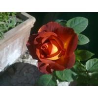 Роза шоколадно- песочная