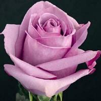 Роза Холодная вода