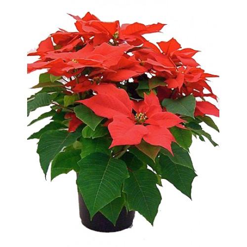 Купить цветы горшечные в могилеве с доставкой искусственные цветы купить в горшке
