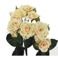Роза кустовая Rosa tr cream cracia