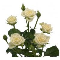Роза кустовая Rosa tr snowflake