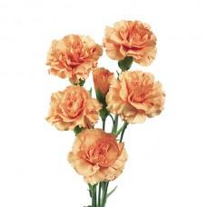 Гвоздика кремово-оранжевая кустовая