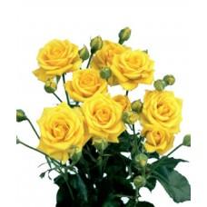 Роза кустовая Сан Сити
