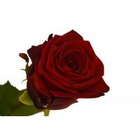Белорусские розы в ассортименте