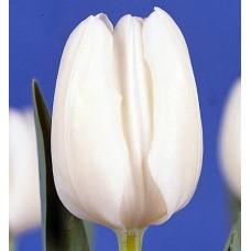 Тюльпан Уайт Дрим