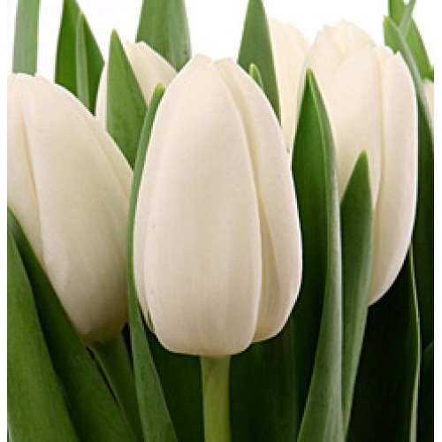 описание фото и тюльпан вайт дрим